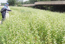 白く涼しげな花を咲かせるソバの花=一宮市光明寺の138タワーパークで