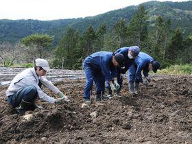 畑に植えた桑の苗木の枝切り作業を行う就労支援事業所の利用者ら=下呂市御厩野
