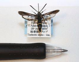 青森県立郷土館で展示中の「クロビロードスカシバ」の標本=3日、青森市