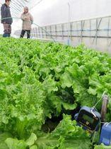 上川農試のハウス内で厳寒期に暖房を使わず栽培されたリーフレタス=16日、比布町