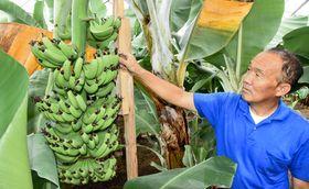 二ツ沼総合公園のビニールハウスで栽培されているバナナ。町を代表する特産品として今月からふるさと納税の返礼品になった