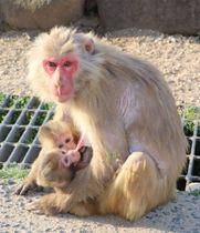 お母さんザルに抱かれ、お乳を飲む双子ザル=土庄町肥土山、「お猿の国」