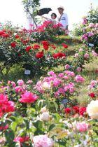 見頃を迎えた園内のバラ