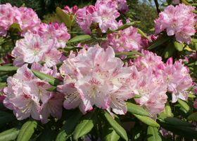 斜面に咲きそろったシャクナゲ=日田市大山町の大山しゃくなげ園
