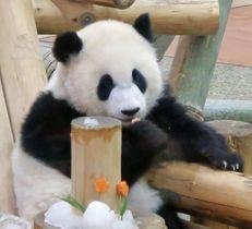 1歳の誕生会が開かれたジャイアントパンダ「彩浜」=14日午前、和歌山県白浜町のアドベンチャーワールド