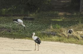島根県雲南市で巣立った3羽のコウノトリ=18日(雲南市立西小学校提供)