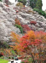 紅葉とのコントラストが美しい小原の四季桜=豊田市川見町の川見四季桜の里で
