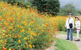 オレンジ色や黄色の花が来園者を楽しませているキバナコスモス=香川県まんのう町吉野、国営讃岐まんのう公園