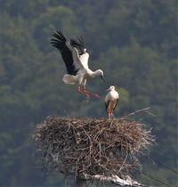 巣の上で羽ばたきながら飛び上がる雌のひな。右はもう1羽の雌のひな=16日午前8時半ごろ、鳴門市大麻町