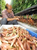ビニールハウスの中でミョウガを収穫する湯浅克美さん=安来市九重町