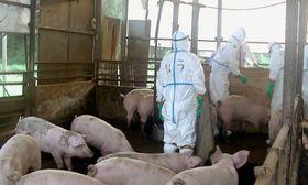 豚コレラに感染した豚が飼育されていた養豚場で進められる殺処分作業=14日、埼玉県秩父市(同県提供)