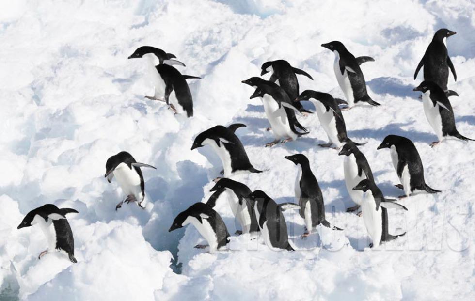 12月20日に撮ったアデリーペンギン。