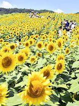 鮮やかに咲き誇るヒマワリ=18日午前、喜多方市熱塩加納町・三ノ倉高原
