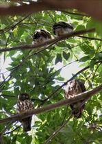 木陰で休む4羽のアオバズク親子