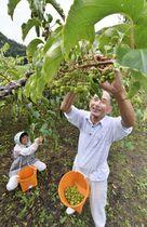 甘~い「サルナシ」収穫 玉川村特産、ジュースや生食用に