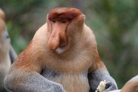 長く大きな鼻を持つテングザル=マレーシア・サバ州(松田一希・中部大准教授提供)