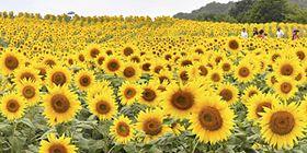 色鮮やかに咲き誇るヒマワリ=17日午後、喜多方市熱塩加納町・三ノ倉高原