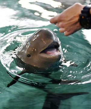 宮島水族館で報道陣にお披露目されたスナメリの赤ちゃん=24日午前、広島県廿日市市