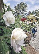 開花したシャクヤク=尾山神社