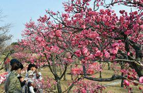 ここ数日の陽気で見ごろを迎えた梅の花(京都市下京区・梅小路公園)