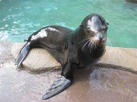 第1回ヒレアシ甲子園に参戦した浜松市動物園のカリフォルニアアシカの「ルーシー」(同動物園提供)