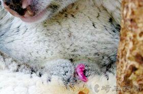 母親ハニーの産道から出て、おなかにある袋を目指してはい上がるコアラの赤ちゃん=県こども動物自然公園提供(2018年6月20日撮影)