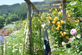 華麗に色とりどりのバラが咲き誇っている高千穂町田原のバラ園