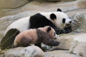 13日、フランスのボーバル動物園で一般公開されたジャイアントパンダ「円夢」(ボーバル動物園提供・AP=共同)