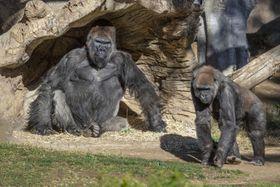 米カリフォルニア州サンディエゴ郊外のサファリパークで飼育されているゴリラ=10日(San Diego Zoo Safari Park提供、AP=共同)