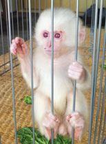 吉本道一さんに保護された白い子猿=22日、岐阜県下呂市小坂町で