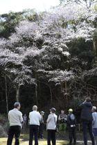 和歌山県古座川町で開かれたクマノザクラの観察会=16日