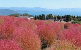 琵琶湖を望むゲレンデを赤く彩るコキア=高島市今津町で