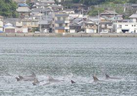 八幡浜港近くを泳ぐイルカの群れ=22日午前9時20分ごろ、八幡浜市栗野浦
