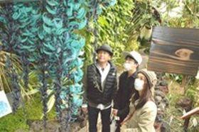 ヒスイカズラ見頃 鮮やかな青緑色の花房 東伊豆