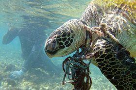 漁網に絡んで死んだウミガメ。プラスチックごみなどの汚染が海の生き物の脅威になっている(米海洋大気局提供)