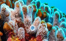 鹿児島県の喜界島沖で群生地が見つかったアオサンゴ=7月(NPO法人喜界島サンゴ礁科学研究所提供)