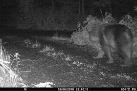 106年ぶりにヒグマの生息が確認された利尻島で、初めて無人の赤外線カメラが捉えたヒグマの姿=15日午後、北海道利尻町(利尻町提供)
