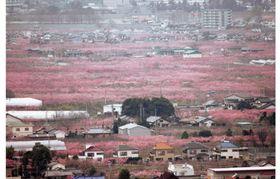 山梨県の甲府盆地で見頃を迎えた桃の花=2007年4月