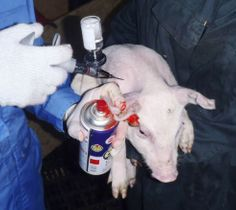 豚コレラのワクチン接種=10月(三重県提供)
