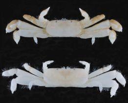 小笠原諸島・聟島列島の海域で発見された新種のカニ「ペタンココユビピンノ」=2016年9月(お茶の水女子大・吉田隆太特任助教提供)