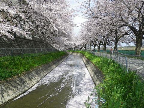 まもなく満開!散策できる桜回廊として日本一!見沼田んぼの桜回廊