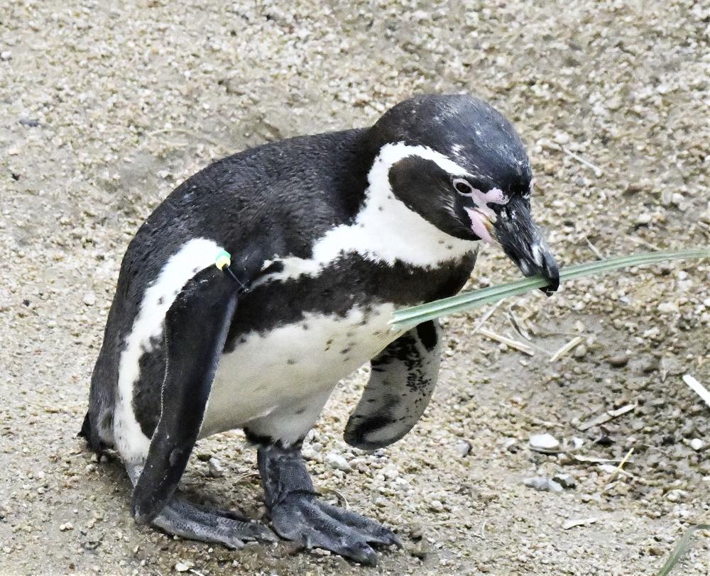 草をくわえて運ぶフンボルトペンギン