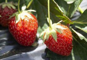 東京都が開発したイチゴの新品種「東京おひさまベリー」(東京都提供)