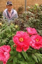 色鮮やかに咲き始めた遠藤さん宅のボタン