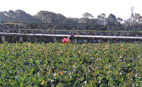整備されたブロッコリー畑が広がる山田原地区=雲仙市吾妻町