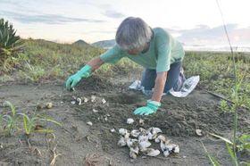 アカウミガメの産卵巣を掘り起こし、卵の殻や腐卵の数を数えてふ化数を確認する研究会の黒木豊さん
