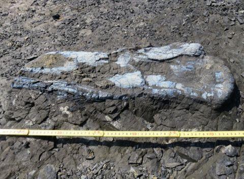 上甑島で見つかったハドロサウルス類とみられる恐竜の大腿骨の化石(薩摩川内市提供)