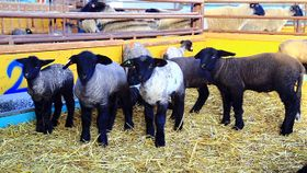 サフォーク羊の出産ラッシュ
