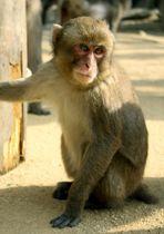 高崎山自然動物園でサルの人気を競う「選抜総選挙」の雌部門で連覇を果たしたシャーロット=大分市(同園提供)