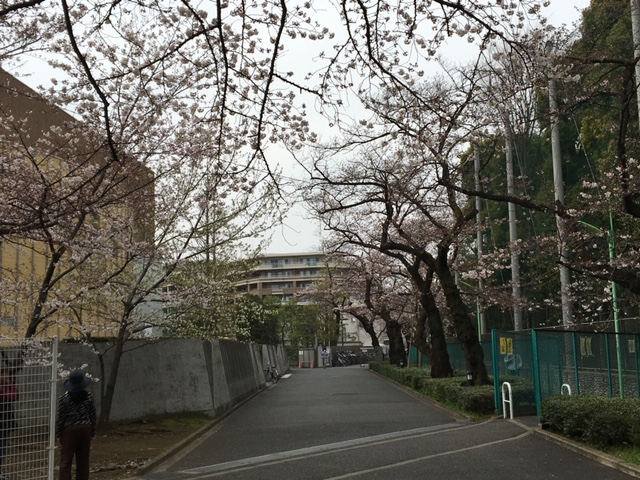 東京・桜上水にある日大グラウンドに続く桜並木
